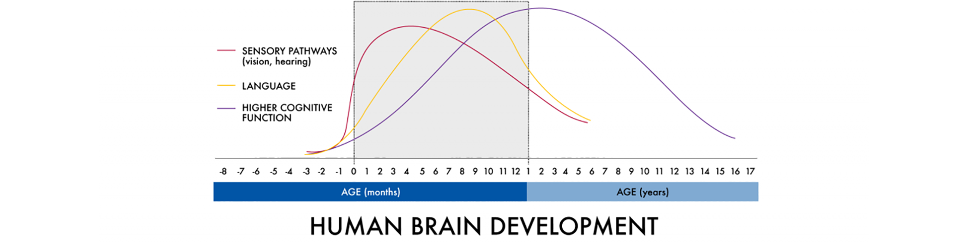 Human Brain Development chart